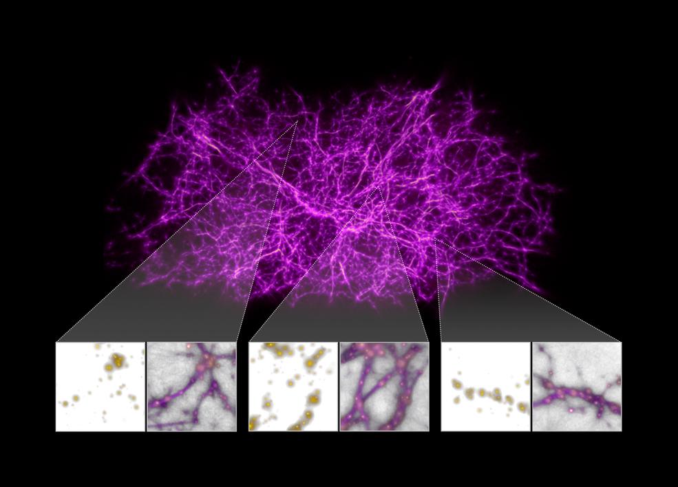 Utilizadas simulaciones de moho del limo para mapear materia oscura que mantiene unido el Universo.